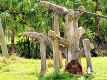 Großer Orang-Utan, der im Zoo sich entspannt Lizenzfreie Stockfotografie