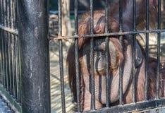 Großer Orang-Utan orange Affe im Käfig Stockbilder