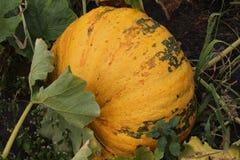 Großer orange Kürbis im Garten Lizenzfreie Stockfotos