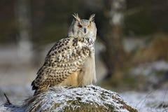 Großer Ostsibirier Eagle Owl, Bubo Bubo sibiricus, sitzend auf kleinem Hügel mit Schnee im Wald Lizenzfreie Stockbilder