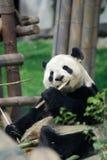 Großer Panda Stockfotografie