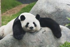 Großer Panda Stockfotos