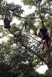 Großer Panda Stockbilder