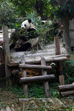 Großer Panda Lizenzfreie Stockfotografie