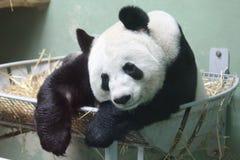 Großer Panda Lizenzfreies Stockfoto