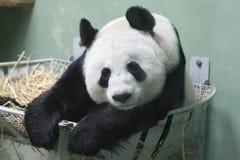 Großer Panda Stockfoto