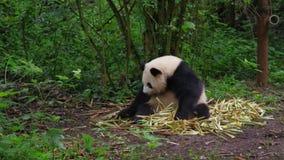 Großer Panda stock video