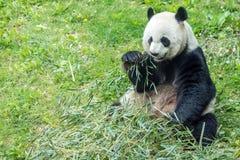 Großer Panda beim Essen des Bambusses stockbild