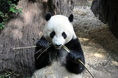 Großer Panda, der an San Diego-Zoo zu Mittag isst stockfotografie