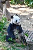 Großer Panda Kai Kai in Fluss Safari Singapore lizenzfreie stockfotografie