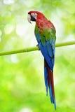 Großer Papagei Stockbild
