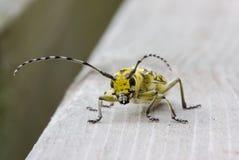 Großer Pappel Longhorned Käfer Lizenzfreie Stockfotos