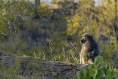 Großer Pavian, der auf einem Baumstumpf sitzt Lizenzfreie Stockfotos