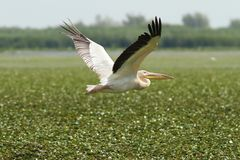 Großer Pelikan, der über Sumpf fliegt Stockbild