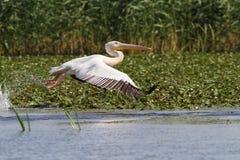 Großer Pelikan im Flug an Musura-Bucht Stockfotografie