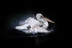 Großer Pelikan im Meer Stockfotos