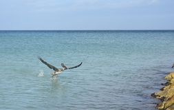 Großer Pelikan mit seinen Flügeln völlig verlängert Lizenzfreies Stockbild