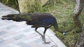 Großer Pfau überschreitet durch die Kamera, exotische Vögel, tropische Fauna, Pfau ` s Endstück stock footage