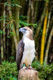 Großer Philippinen-Adler oder -affe, die Adler essen Lizenzfreies Stockbild
