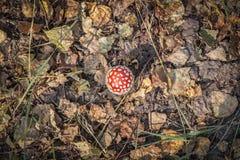 Großer Pilzwulstling mit einem roten Hut Lizenzfreie Stockbilder