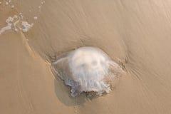 Großer Quallentod auf Strand in Thailand Beschneidungspfad eingeschlossen Lizenzfreie Stockfotografie