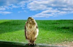 Großer räuberischer Vogeladler in der Gefangenschaft Stockfotografie