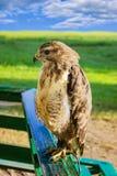 Großer räuberischer Vogeladler in der Gefangenschaft Stockfoto