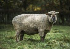 Großer Ram Feeding Lizenzfreies Stockbild