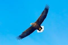 Großer Raubvogel auf dem Himmel Seeadler, Haliaeetus albicilla, großer Raubvogel auf thy dunkelblauem Himmel, mit dem weißen Schw Lizenzfreie Stockfotografie