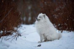 Großer rauhaariger Hund, der auf einem Schnee sitzt Stockbild