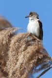 Großer Reedwobbelton (Acrocephalus arundinaceus) Lizenzfreies Stockfoto