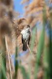 Großer Reedwobbelton (Acrocephalus arundinaceus) Stockfotos