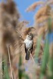 Großer Reedwobbelton (Acrocephalus arundinaceus) Lizenzfreie Stockfotografie