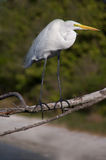 Großer Reiher (Ardea alba) Stockfotos