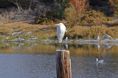 Großer Reiher (Ardea alba) Stockfoto