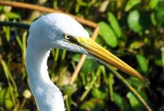 Großer Reiher (Ardea alba) Lizenzfreies Stockfoto
