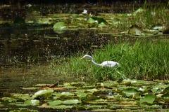 Großer Reiher, der in ein Florida-Sumpfgebiete einzieht Stockbilder
