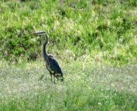 Großer Reiher, der im Gras steht Lizenzfreie Stockfotos