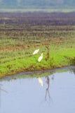 Großer Reiher, der am Rand eines Bewässerungsabzugsgrabens mit Reflexion im Wasser steht Stockfotografie