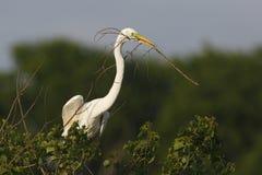 Großer Reiher-tragendes Nestmaterial in seinem Schnabel Lizenzfreies Stockbild