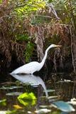 Großer Reiher-Vogel in den Sumpfgebieten Lizenzfreie Stockfotos