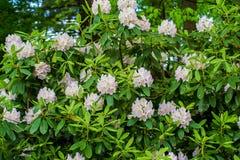 Großer Rhododendron-Strauch lizenzfreies stockfoto