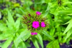 Großer rosa Blütenstand auf dem Hintergrund von lizenzfreies stockbild
