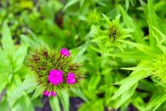 Großer rosa Blütenstand auf dem Hintergrund von lizenzfreies stockfoto