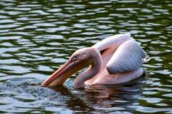 Großer rosa Pelikan Lizenzfreie Stockfotografie