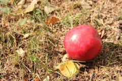 Großer roter Apfel und Herbstlaub auf dem Gras Stockbilder