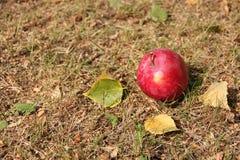 Großer roter Apfel und Herbstlaub auf dem Gras Stockfotografie