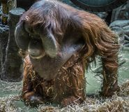Großer roter Orang-Utan mit rundem Gesicht Stockbild
