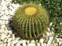 Großer runder Kaktus Lizenzfreie Stockbilder