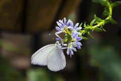 Großer südlicher weißer männlicher Schmetterling Stockfotos